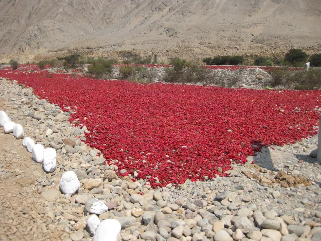 Pepperonis beim Trocknen. In Peru werden sie in größeren Mengen verkocht