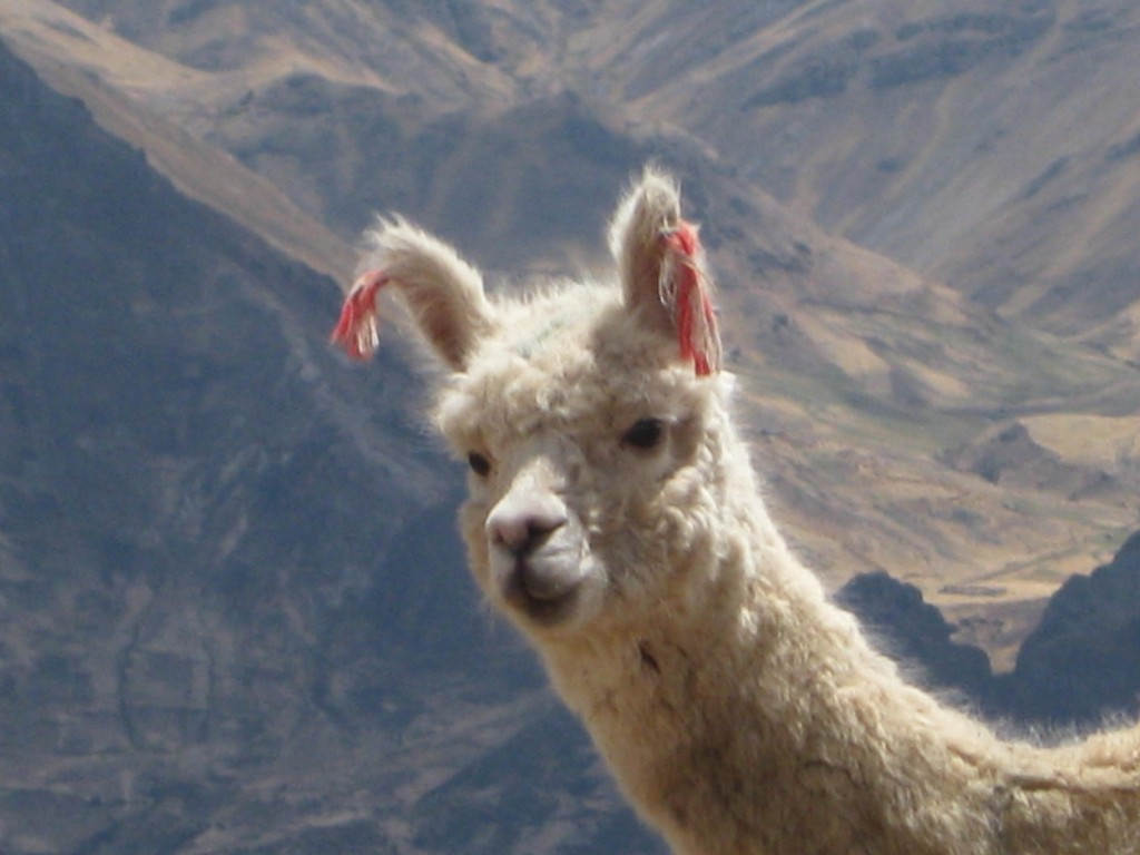 Lamas bekommt man in Peru öfter zu Gesicht