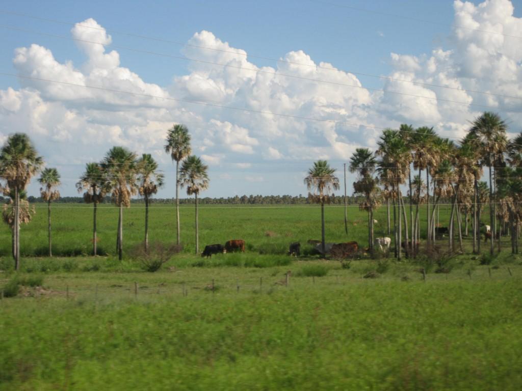 Kühe unter Palmen