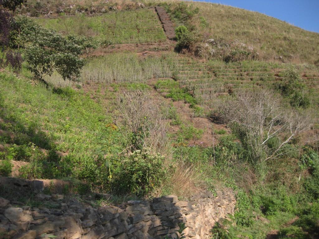 Anbau der Coca-Pflanze in Bolivien. Was am Ende daraus wird ist hier freilich noch unklar
