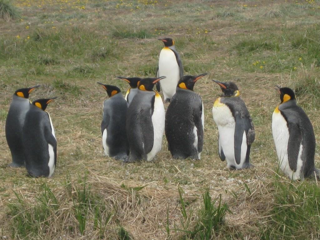 """Pinguine gibt es nicht nur in Punta Arenas, sondern auch an der Bahía Inútil (die """"unnütze Bucht""""), in der Nähe von Porvenir auf Feuerland. Diese Exemplare sind Königspinguine, die größte Pinguinart, die es gibt. Dank meiner langsamen Reisegeschwindigkeit konnte ich diese Pinguine sehen: Mit einem Italiener war ich am Trampen, andere Italiener nahmen uns mit und machten Halt an dem damals recht unbekannten, unter Naturschutz stehenden Gebiet, wo man uns Zugang und eine kleine Führung gewährte"""