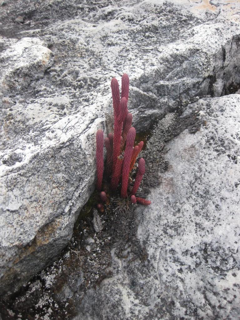 Nationalpark Sierra Nevada del Cocuy - Kolumbien - Flora und Fauna 2