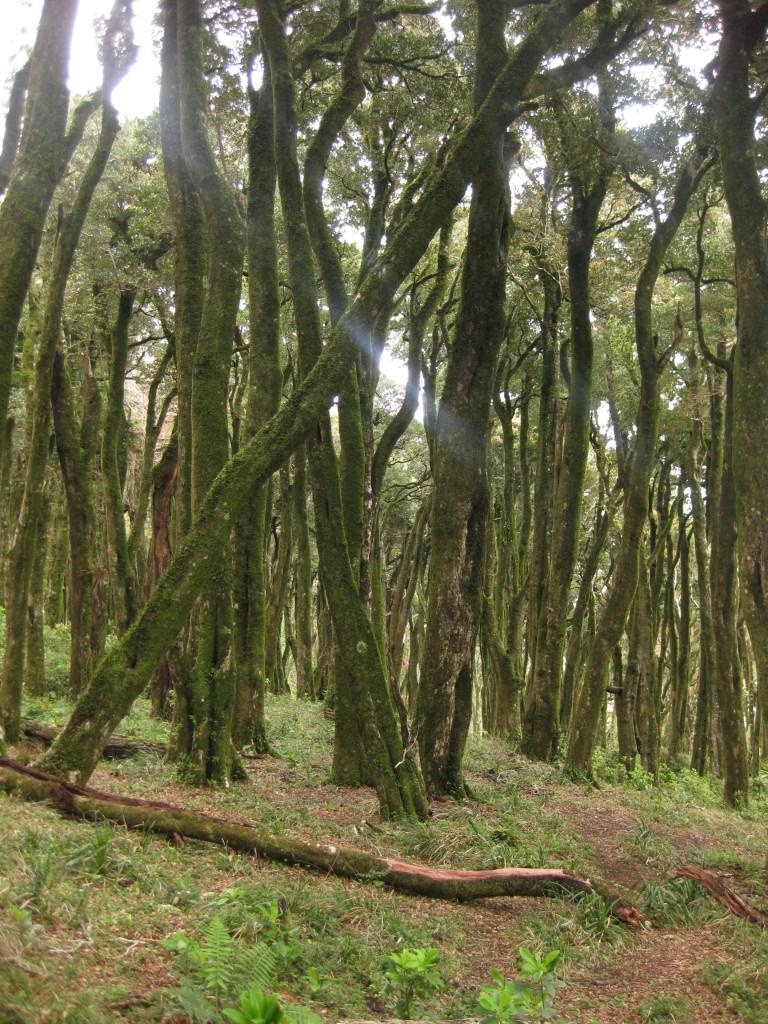 """Vegetation - Bäume valdivianischer Regenwald - Geschützte Küstenzone """"Punta Curiñanco"""" - Valdivia - Chile - Südamerika (8)"""