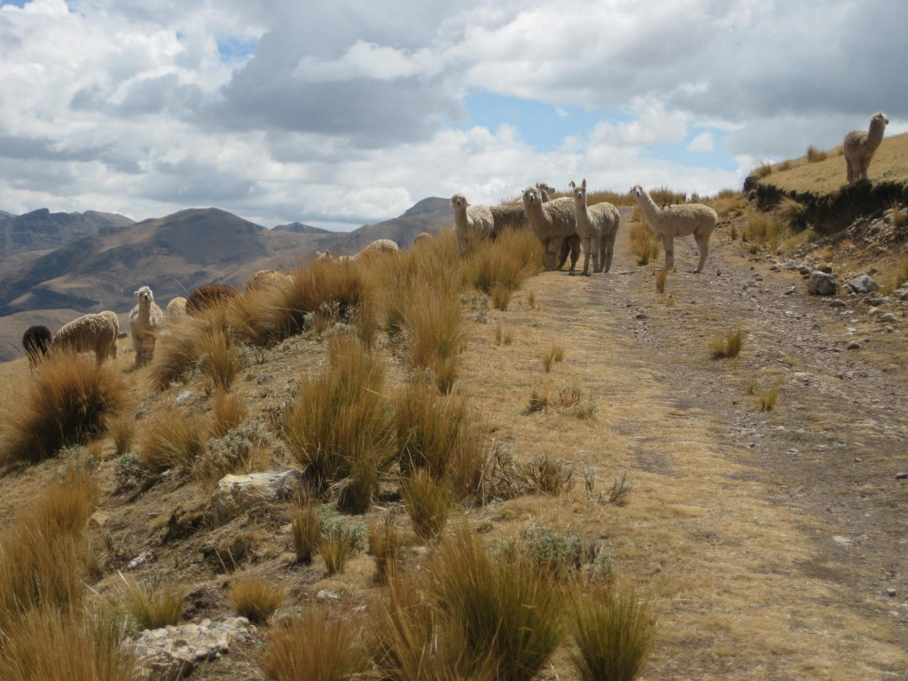 Lamas...oder sind's Alpacas